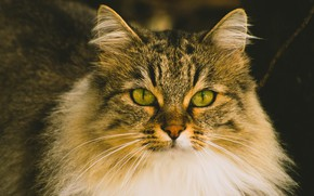 Picture cat, cat, look, face, pose, the dark background, portrait, fluffy, green eyes, tabby