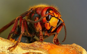 Picture macro, background, insect, hornet, bark