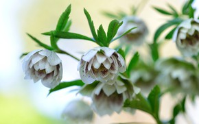Picture flowers, background, Bush, hellebore, Helleborus