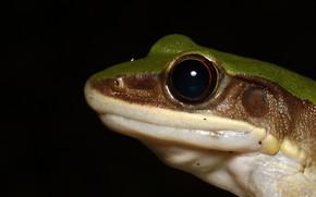 Picture look, face, macro, frog, portrait, black background, reptile