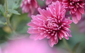 Picture flowers, background, blur, pink, asters