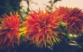 Picture garden, orange, bokeh, dahlias