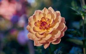 Picture flower, leaves, macro, background, Dahlia, yellow, bokeh