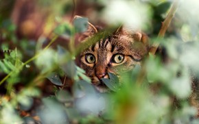 Picture greens, cat, eyes, cat, look, face, leaves, branches, nature, grey, thickets, foliage, portrait, green, striped, …