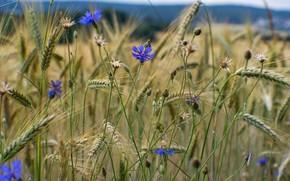 Picture wheat, field, cornflowers