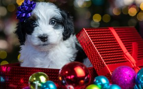 Picture look, balls, glare, box, gift, baby, Christmas, puppy, New year, face, doggie, Бернедудель