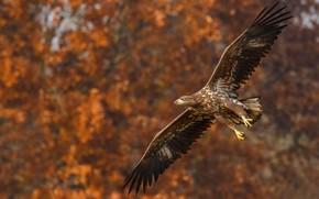 Picture autumn, flight, nature, bird, eagle, eagle, bokeh, flying, wingspan