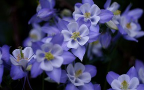 Picture flowers, the dark background, blur, a lot, lilac, the catchment, Aquilegia