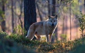 Picture forest, look, face, light, trees, branches, nature, wolf, is