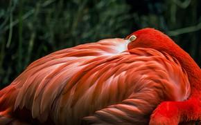 Picture look, pose, the dark background, bird, feathers, Flamingo, Peeps, pink flamigo