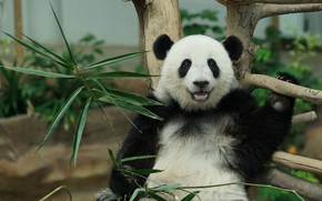 Picture face, leaves, nature, pose, smile, tree, bamboo, bear, Panda, bear, snag, sitting, zoo, young