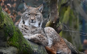 Picture predator, log, lynx