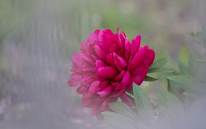 Picture flower, blur, peony