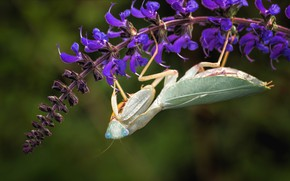 Picture look, macro, flowers, green, background, mantis, insect, lilac