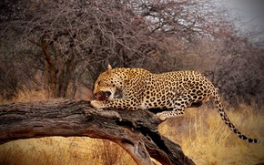 Picture branches, nature, pose, tree, leopard, snag, mining, meal