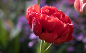 Picture flower, drops, macro, light, red, Tulip, spring, Terry