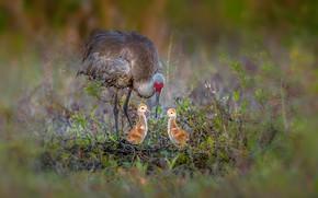 Picture birds, nature, Sandhill cranes