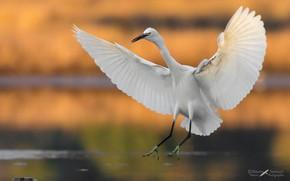 Picture bird, wings, Heron