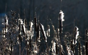Picture nature, swamp, reed