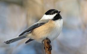 Picture background, bird, bitches, tit