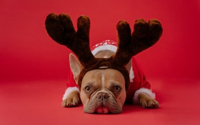 Picture dogs, dog, deer, Christmas, costume, New year, horns, red background, French bulldog