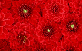 Picture flowers, texture, red, dahlias