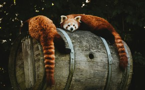 Picture look, nature, pose, the dark background, foliage, pair, red Panda, barrel, a couple, two, wooden, …