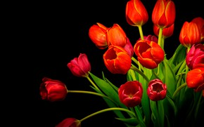 Picture bouquet, tulips, red, black background