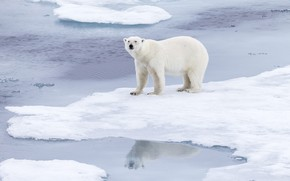 Picture winter, white, look, face, snow, nature, pose, reflection, shore, ice, bear, ice, polar bear, pond