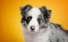 Picture look, portrait, dog, baby, puppy, face, yellow background, the border collie