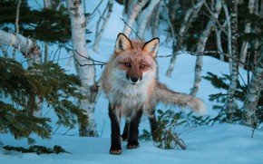 Picture winter, forest, look, snow, trees, Fox, needles
