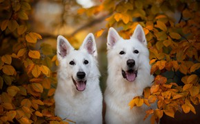Picture autumn, branches, a couple, two dogs, yellow leaves, The white Swiss shepherd dog