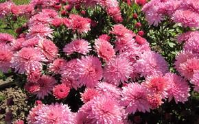 Picture Bush, chrysanthemum, pink chrysanthemum