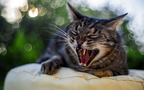Picture cat, cat, mustache, face, light, glare, grey, background, portrait, mouth, fangs, striped, yawns, mattress, bokeh, …