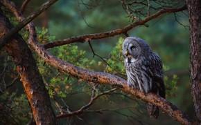 Picture forest, look, branches, green, the dark background, background, tree, owl, bird, branch, beak, grey, sitting, …