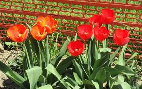 Picture tulips, flowerbed, Meduzanol ©, Spring 2018