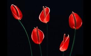 Picture black background, red flowers, Anthurium, flower Flamingo