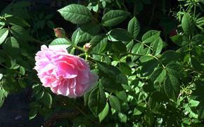 Picture flower, summer, rose tea
