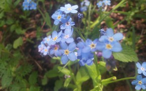 Picture Flowers, Leaves, Forget-me-nots, Stems