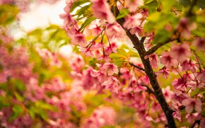 Picture greens, flowers, branches, cherry, background, blur, spring, Sakura, pink, leaves, flowering, bokeh