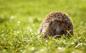 Picture greens, summer, grass, needles, glare, background, glade, spring, muzzle, animal, hedgehog, walk, hedgehog, bokeh, hedgehog, …