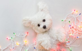 Picture look, pose, legs, dog, lights, Christmas, puppy, white background, New year, lies, white, garland, face, …