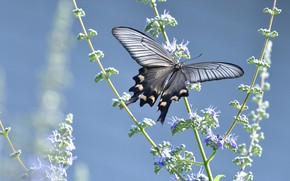 Picture flowers, butterfly, black, blue background, swallowtail