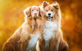 Picture autumn, dogs, look, orange, nature, pose, background, two, dog, puppies, red, friendship, pair, puppy, gold, …