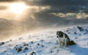 Picture winter, snow, mountains, tops, dog, Blizzard, the border collie