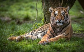 Picture summer, grass, look, face, nature, tiger, pose, glade, lies, wild cat, tiger, young, tiger
