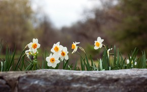 Picture flowers, glade, spring, white, daffodils