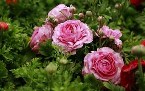 Picture drops, flowers, garden, pink, flowerbed, Ranunculus