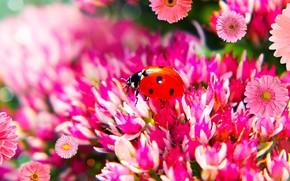 Picture macro, flowers, ladybug, beetle, pink, bokeh