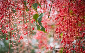 Picture drops, macro, branches, brush, Brachychiton